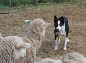 Training of Border Collies south Africa