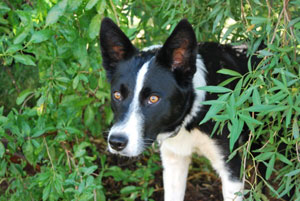 Breeder of Border Collies South Africa