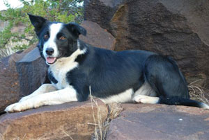 Border Collie Female