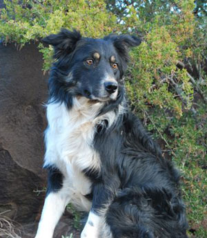 Border Collie Male