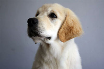 Male Golden Retriever Italian boy Xanthos Maserati ( Spyder )