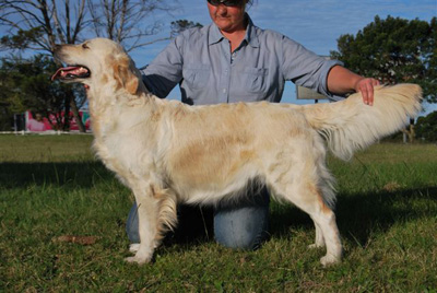 Female Golden Retriever Lillie