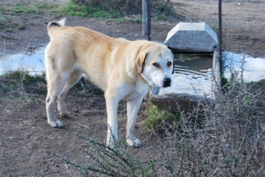 The word Ovtcharka is a Russian word meaning something between livestock guardian dog (LGD) and Shepperd dog.