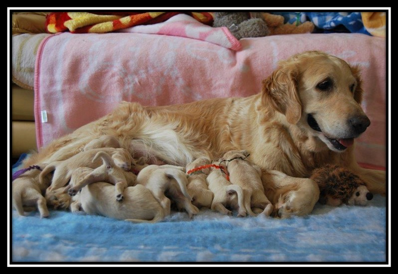 Golden Retriever Puppies available from Chrisridogs Kennels South Africa