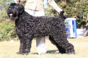 Black Russian Terrier (BRT), originally called the Black Terrier