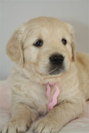 Golden Retriever puppies age 5 weeks