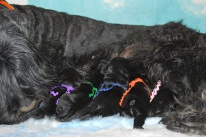 Joska puppies 1 week 016