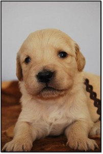 2 week old pup from Chrisridogs Golden Retriever Puppies Available