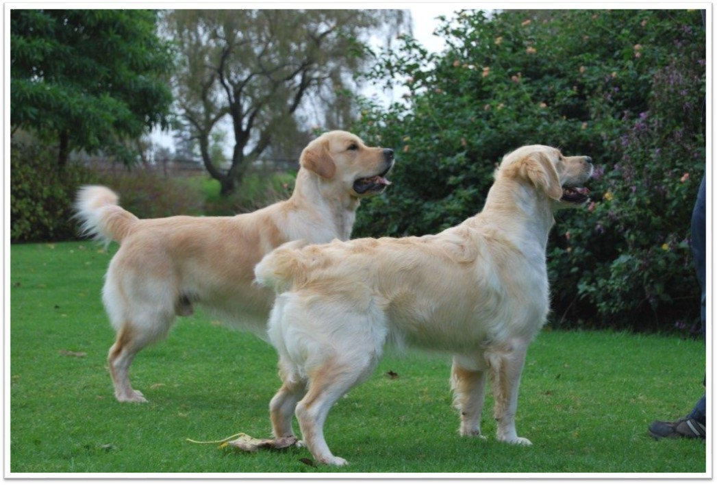 Female golden retriever standard