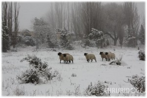 Golden Retrievers and Black Russian terriers enjoying a walk in the snow ( Winter on Eindelik )