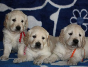 _pups-golden-retrievers