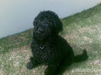 Cole Adopted Black Russian Terrier Puppy