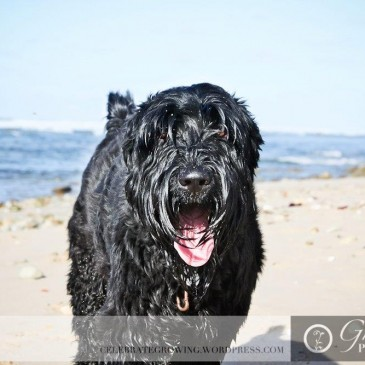 Laika Adopted Black Russian Terrier Puppy