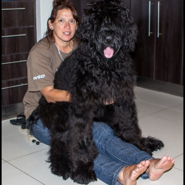 Moscow Adopted Black Russian Terrier Puppy